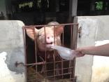 Even pigs in Vietnam enjoy rice paper.